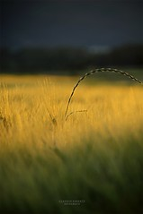 a s p i r a z i o n i (swaily ◘ Claudio Parente) Tags: grano estate sole sunset nikon swaily claudioparente