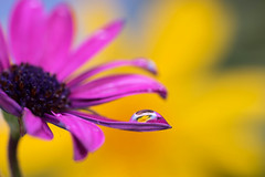 droplet (borealnz) Tags: dripsdropsandsplashes macro macromonday daisy colour droplet refraction yellow africandaisy golden purple nature drop water