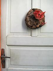 Cogumelos Shimeji Salmão na porta -Mushroom - (Pleurotus djamor) (Valter França) Tags: pleurotus djamor comestível cogumelo pink oyster fungi fungo