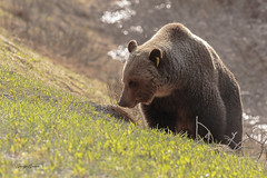 Grizzley (Photos_By George) Tags: bear animal grizzly bears grizzlybears