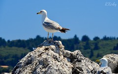 Greek Seagulls. R.Kirby 2017 (KirbyPhotography1) Tags: animals island mediterranean med nature wildlife outdoors day blue sky water beach 2017 kirby photography new vacation holiday greece town old corfu seagulls seagull