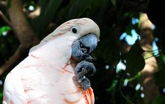 DSC_4205 (davide_serafino) Tags: animale uccello pappagallo colore rosa becco biosfera piumaggio nikon d90 natura livrea animal bird parrot color pink nature livery beak biosphere plumage