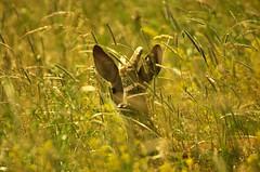 I am not here (stempel*) Tags: pentax k30 gambezia polska poland polen polonia nature sigma bigma sarne roe deer koziołek kozioł portrait portret jaktorów kraśnicza wola