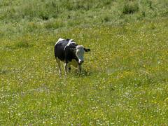 P6110170 (turbok) Tags: almlandschaft berge bärnfeichtnmölbing landschaft totesgebirge weide wörschachwald c kurt krimberger