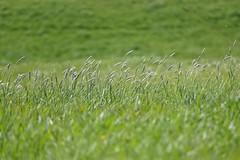 Summer grass (yve_all) Tags: natur nature colours farben licht light blickwinkel view gras grass