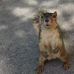 Squirrels in Ann Arbor at the University of Michigan (June 5th, 2017) thumbnail