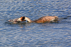 Great Crested Grebe attacking chick. (E P Rogers) Tags: gression adult peck chick territory podicepscristatus