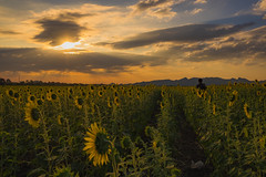sunset time (Flutechill) Tags: nature yellow agriculture summer sunflower ruralscene field flower sky outdoors plant sunset landscape meadow sunlight sun beautyinnature cloudsky farm growth thailand lopburi travel