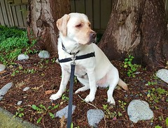 Gracie on the way home (walneylad) Tags: gracie dog canine pet puppy lab labrador labradorretriever cute june spring