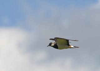 Lapwing flight ~ Explored