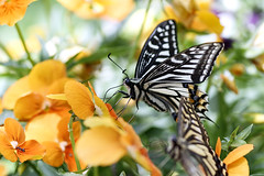 Swallowtail Butterfly (Johnnie Shene Photography(Thanks, 2Million+ Views)) Tags: swallowtailbutterfly swallowtail butterfly sideview perching resting awe wonder fulllength depthoffield feeding interesting korea asia pansy flower plant flora animal insect bug lepidoptera feeler staying standing highangle wings limbs spring day bright photography horizontal outdoor colourimage fragility freshness nopeople foregroundfocus adjustment nature natural wild wildlife livingorganism tranquility peace animalandplant shape bokeh perspective oldworldswallowtail papilio papiliomachaon vivid sharpness behaviour still stationary canon eos80d 80d tamron 90mm f28 11 macro lens closeup magnified
