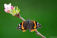 Windy Morning (Vie Lipowski) Tags: redadmiral vanessaatalanta crabappleblossoms butterfly insect bug flower spring windy wildlife nature macro