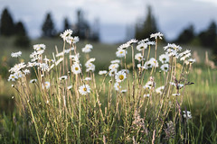 Wild daisies (Jan.Timmons) Tags: daisies wildandfree sunset lastlight sidelight fields niftyfifty jantimmons pacificnorthwest landscape