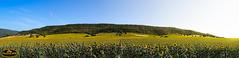 Campo de Girasoles (PictureJem) Tags: girasoles campo landscape paisaje