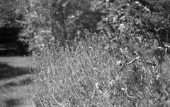 Kiev2 agfa020 (salparadise666) Tags: kiev iia jupiter agfa apx 100 orange filter caffenol rs 14min nils volkmer vintage camera rangefinder russian contax copy nature detail contrast monochrome black white