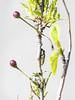 pupa (trasroid) Tags: butterfly エゾシロチョウ 蝶 insect japan 日本 北海道 hokkaido aporiacrataegi blackveinedwhite aporia サナギ 蛹 pupa 桜 桜の実 cherrytree cherry