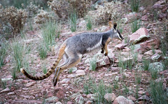 Yellow Footed Rock Wallaby (shashin62) Tags: australia southaustralia outback ranges flindersranges rawnsleypark arkaroola marsupial wallaby yellowfootedrockwallaby wildlife