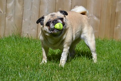 Look Who's Back To Her Old Self! (DaPuglet) Tags: pug pugs dog dogs pet pets animal animals ball play coth sunrays5 coth5