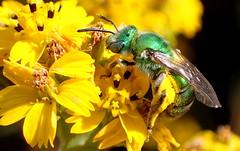 Metallic Green Sweat Bee (Agapostemon sp) (J.Thomas.Barnes) Tags: