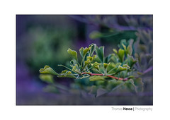 Ginkgo (Der Zeit die Augenblicke stehlen) Tags: blumenundpflanzen bäume deutschland eos700d eichsfeld fokussiert frühling hth56 spring thomashesse thüringen makro