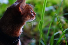 Lizzie in the green (DizzieMizzieLizzie) Tags: abyssinian aby beautiful wonderful lizzie dizziemizzielizzie portrait cat chats feline gato gatto katt katze katzen kot meow mirrorless pisica sony a6500 sigma