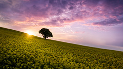 Last Light (davepsemmens) Tags: oilseed crop lonetree yellow sunset clouds