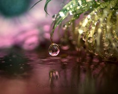 single drop (pics by paula) Tags: drip drop splash drips drops splashes picsbypaula water flower clematis reflection osteospermum fiore fleur paula wayne droplet jewel