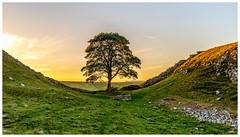 Sunset sycamore. (malcbawn) Tags: sycamoregap sunrise milecastle landscape sunset hadrianswall dusktilldawn dawn northumberland craglough sleptrough roman outdoors steelrigg dusk