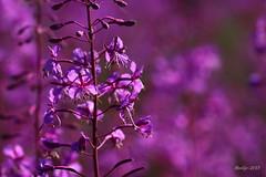 IMG_012148 - Listen to the colour of your dreams! (Monique van Gompel) Tags: cmwdpink cmwdpurple cmwd hbw 7dwf tamronsp90mmf28dimacro11vcusd tamronsp90mm flora macrofotografie macrophotography nature natuurfotografie naturephotography flowers flowerscolors purple paars colours