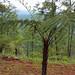 San Ignacio - Fern Tree