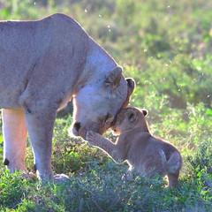 Love you back (John Kok) Tags: tanzania ndutu april2017 lion pantheraleo