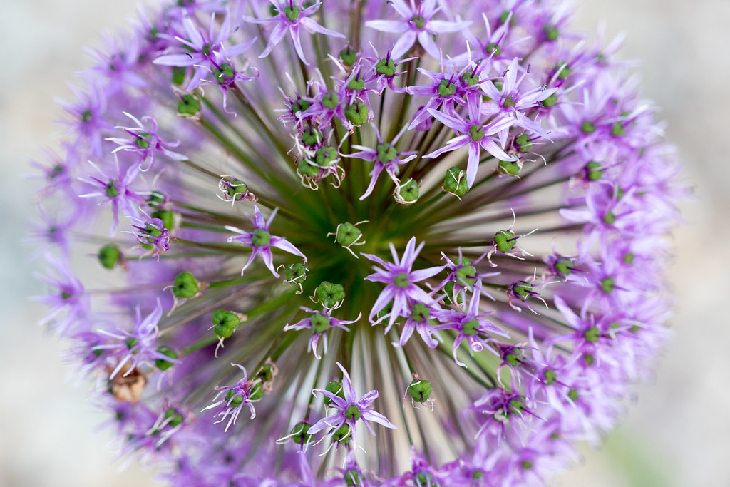 the world 39 s best photos of allium and blume flickr hive mind. Black Bedroom Furniture Sets. Home Design Ideas