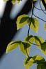 leaf shadows (courtney065) Tags: artistic branchlets nikond200 nature spring landscapes depthoffield leaves foliage springfoliage green abstract tree texture
