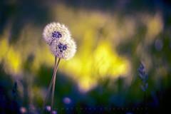 Lovers (matthiasstiefel) Tags: dandelions lovers