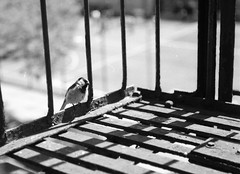 Rolleicord (biblical mixtape) Tags: rolleicordvb bw 120 film bird brooklyn fireescape