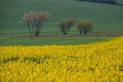 Lined up (Infomastern) Tags: raps countryside field fält gul landsbygd landscape landskap rapeseed seed tree träd yellow exif:model=canoneos760d geocountry camera:make=canon exif:isospeed=100 camera:model=canoneos760d geostate geocity geolocation exif:lens=efs18200mmf3556is exif:focallength=200mm exif:aperture=ƒ80 exif:make=canon