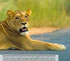 _DJA3657 copy (naturephotographywildlife) Tags: kruger wildlife scenery animals birdlife a99ii africa park lioness