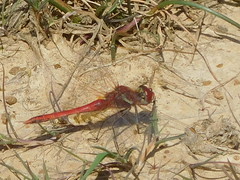 Red Veined Darter 26 May 2017 Windmill farm Cornwall UK RSCN5831 (ecology_garden) Tags: red veined darter windmill farm