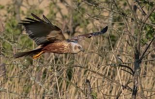 Marsh Harrier on the hunt (Circus aeruginosus) Best viewed large
