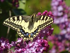 Machaon et lilas (JMVerco) Tags: papillon butterfly farfalla macro flickrchallengegroup