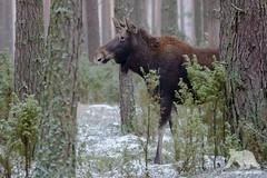 Moose Cow (fascinationwildlife) Tags: animal mammal moose cow snow wild wildlife winter forest tree alert elch female biebrza nature natur national park polen poland elusive shy