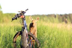 IMG_1570 (maarcinwu) Tags: bike canon6d moose wild 135mmf2l spring