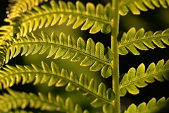backyard (joy.jordan) Tags: fern leaves plant spring texture light bokeh backyard nature macro