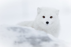 Snow white ? (CecilieSonstebyPhotography) Tags: arctic bokeh portrait fox winter endangered closeup alopexlagopus canon ears snow norway cute markiii whitefox sweet beautiful polarfox nose canon5dmarkiii snowfox eyes january animal langedrag ef70200mmf28liiisusm white specanimal ngc coth5