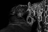 Langoureux (Scholt's) Tags: panthera big cat nikon d7000 jaguar zoo beauval france parc animalier bisou bisous kiss langue amour duo deux animal sauvage panthere noir blanc black white bw monochrome