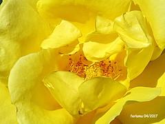 Almería. Roquetas. 12 (ferlomu) Tags: almeria andalucia ferlomu flor flower roquetasdemar rosa