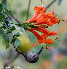 Upside down (asheshr) Tags: 200500mm bird birds birdsofindia birdsofodisha birdsoforissa d7200 nikkor200500 nikon nikond7200 purplerumpedsunbird purplerumpedsunbirdfemale sunbird smallbird beautifulbird