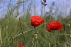 Coquelicots dans le vent / Poppies in the wind (dbrothier) Tags: coquelicot poppy canonef50mmf14usm eos6d quiberon kiberen bzh bretagne breizh vent wind 7dwf smileonsaturday wild flowers wildflowers 6d