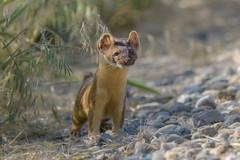 Mr Weasel (Amy Hudechek Photography) Tags: short tail weasel wildlife nature bearrivermigratorybirdrefuge utah mammal amyhudechek