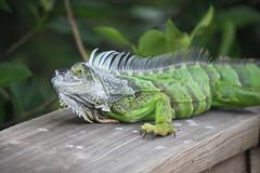 IMG_7187 (tomv2000) Tags: green cay wetlands iguana lizard wildlife